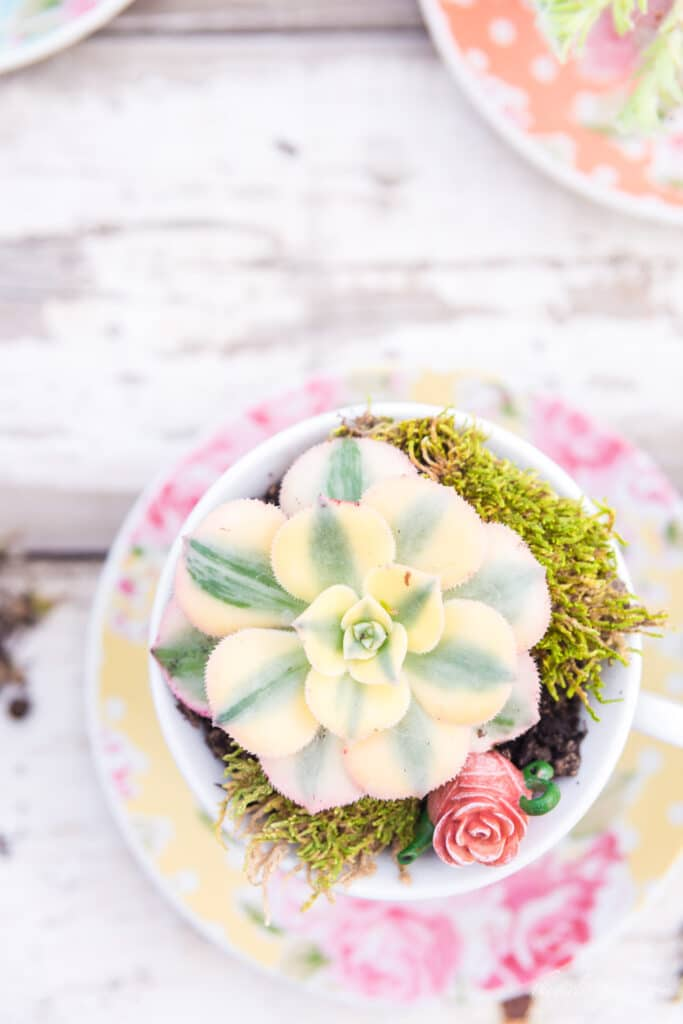 succulent teacup made with yellow and green succulent, yellow floral polka dot teacup, moss, and miniature teapot