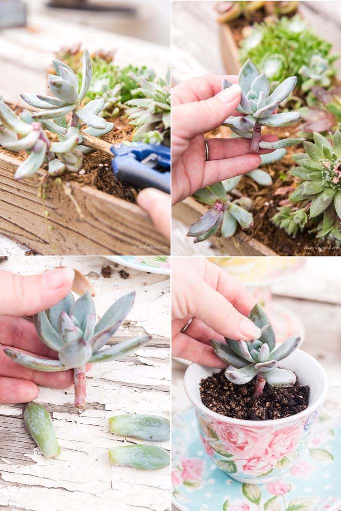 photo collage of taking a succulent cutting and planting it in blue floral teacup